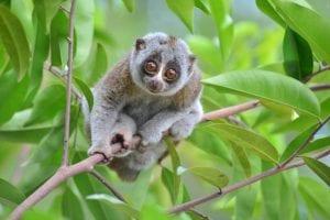slow-loris-in-a-tree-in-the-wild