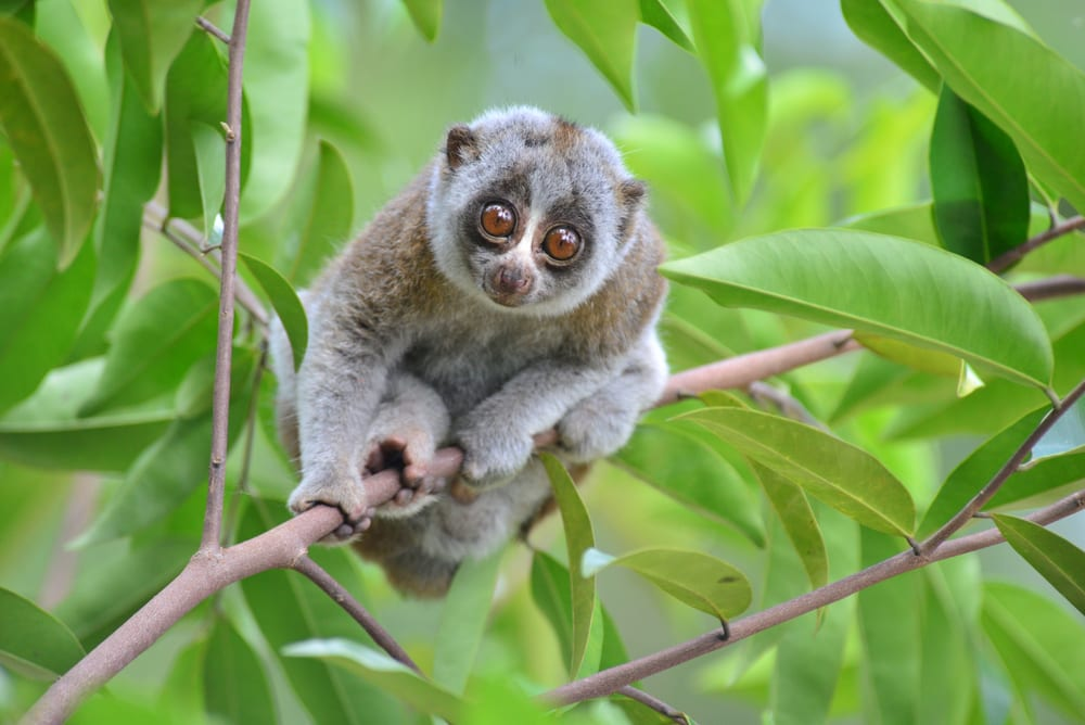 slow-loris-in-a-tree-in-the-wild