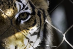 Tiger stares out from the wire cage with one eye.