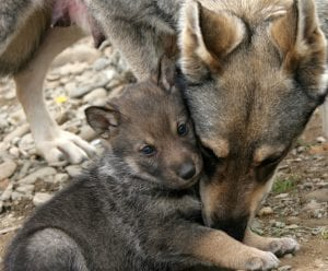 Wild Wolf and her puppies.