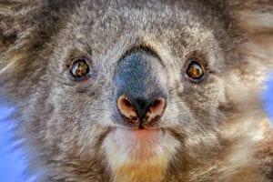 koala close-up face