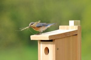 Bluebird building a nest build by an animal welfare foundation
