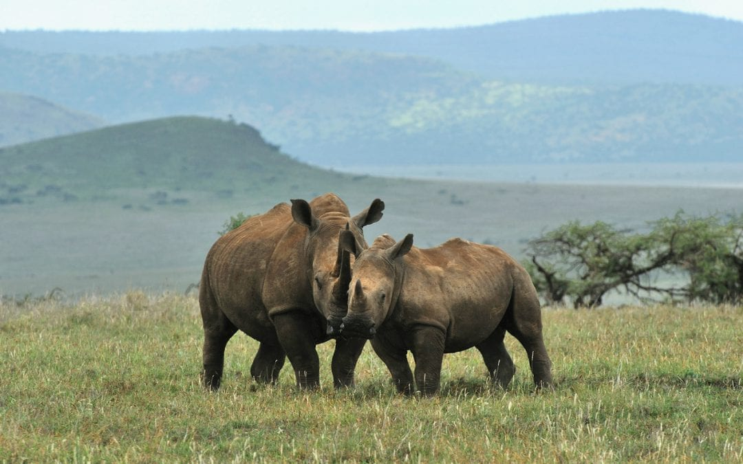 Rhinos at an ecotourism destination