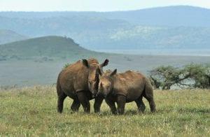 Rhinos at an ecotourism destination