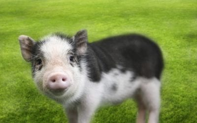 This Little Pigless Product is Ready to Go to Market. Now what?