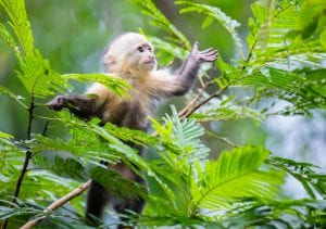White-Faced Capuchin Monkey baby in treetops at Tortuguero National Park, Costa Rica