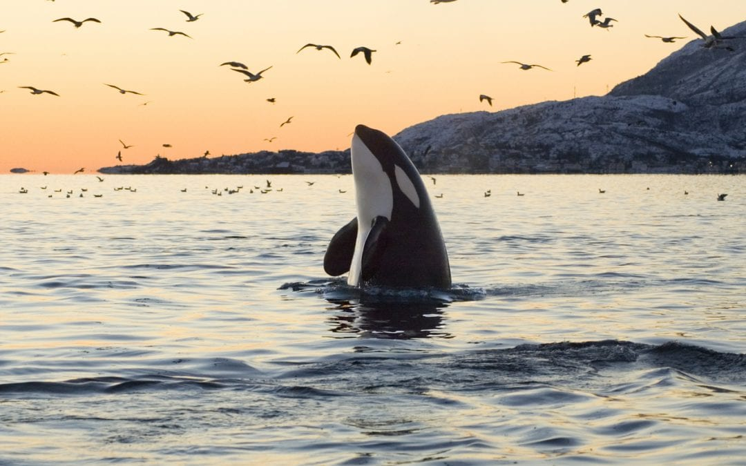 Whale Sanctuary Project Partners with Orange Orchard to Raise Awareness, Create North America's First Whale Sanctuary