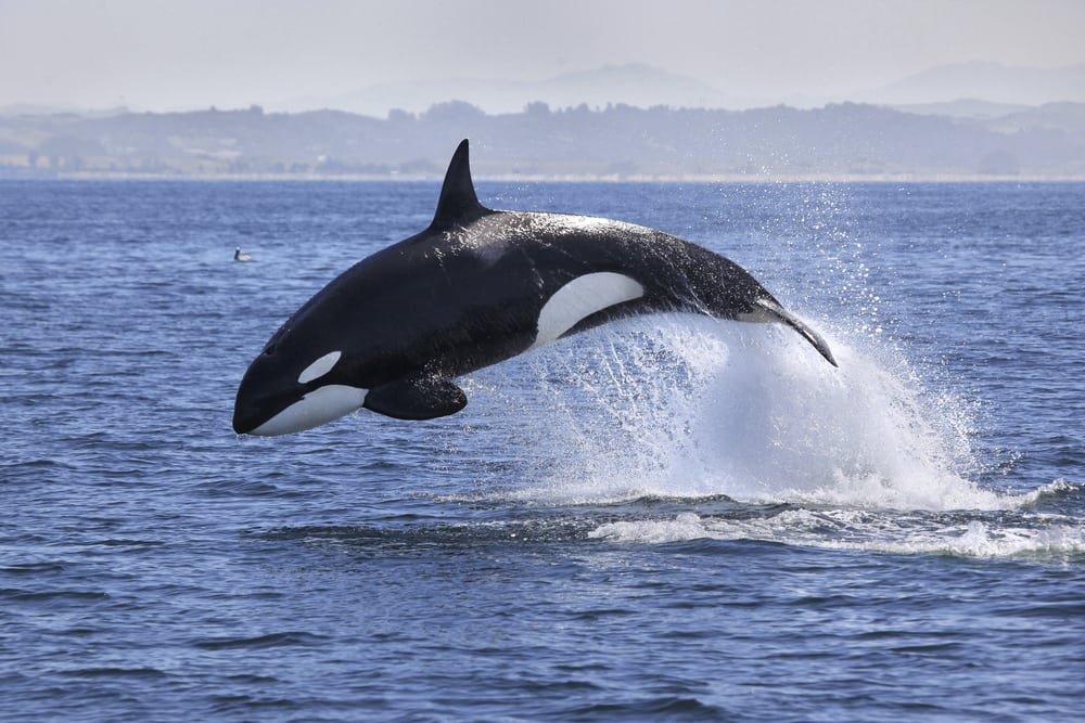 orca jumping in ocean with mountains in the background